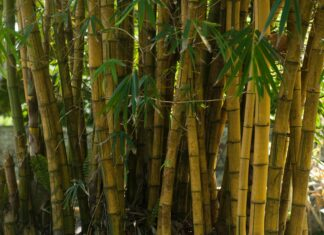 bambus, ekologia